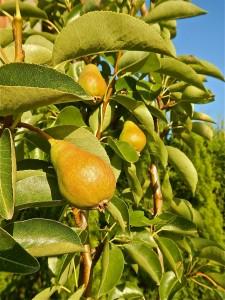 Pears in my tree in July